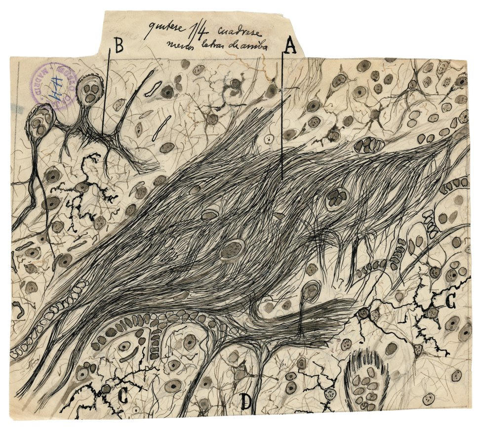 cajal-glial-cells-superJumbo