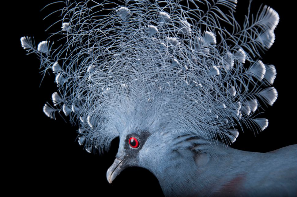 A vulnerable Victoria crowned pigeon (Goura victoria) at the Columbus Zoo.